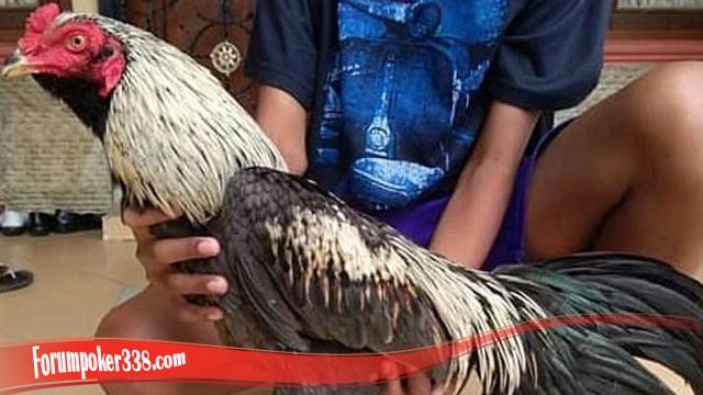 Penting Apa Itu Ayam Brewok