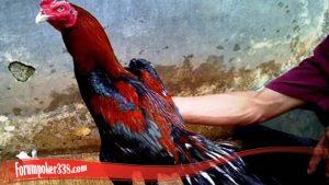 Penting Ketahui Cara Tumbuhakan Bulu Ayam