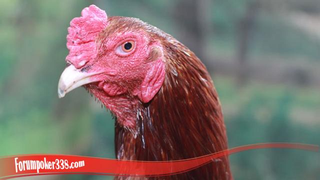 Penting Mengetahui Cara Sembuhkan Mata Ayam