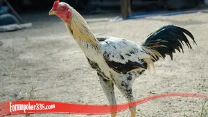 Penting Untuk Meningkatkan Mental Ayam S128